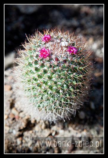 kaktusy w ogrodzie botanicznym wrocław
